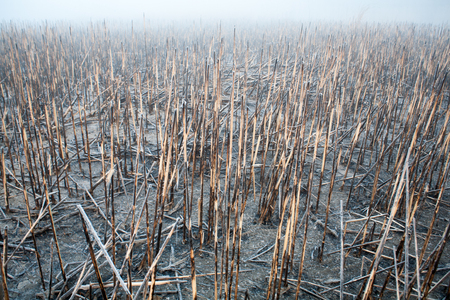 rushy: Burnt reeds on an island in the middle of the river misty morning