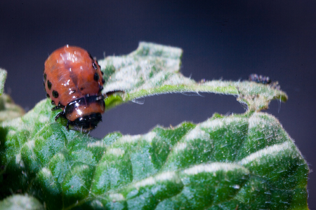 close-up Colorado potato beetle and larvae on the green leaves of potatoes in the garden sunlight Colorado beetle pest consumes a leaf of a plant in the garden and vegetable garden Stock Photo