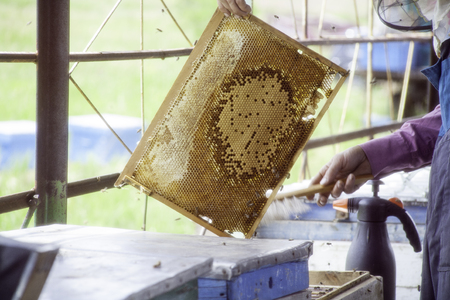 apiculture: Master beekeeper holding in hands Bee honeycombs of wax in a wooden frame of a beehive full of tasty yellow May honey flower sealed with wax