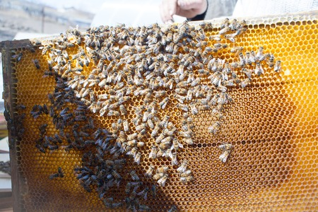 apiculture: Bee honeycombs of wax in a wooden frame of a beehive full of delicious yellow May honey flower sealed with wax with a bunch of bees sitting on them Stock Photo