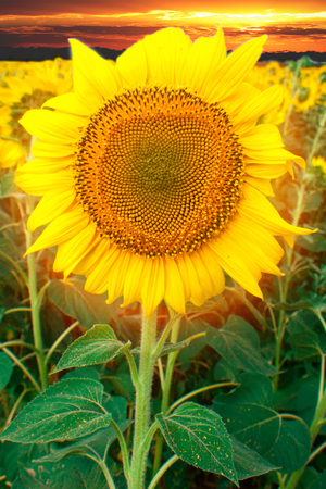 obtaining: Field of flowering sunflowers bright yellow summer heat sun in each flower of the plant agricultural crops sunflower for obtaining seeds and oil