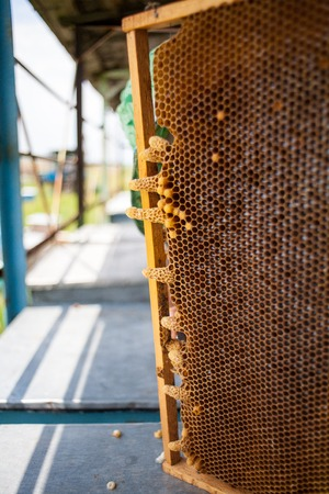 marked boxes: Apis bees mellifera Queen cup or cell of the wax comb from the honey bee Apis mellifera Stock Photo