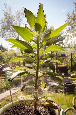 kalanchoe pinnata Bryophyllum pinnatum Mother of Thousands, Mexican Hat plant, Chandelier plant, Kalanchoe, leaf with tiny plantlets