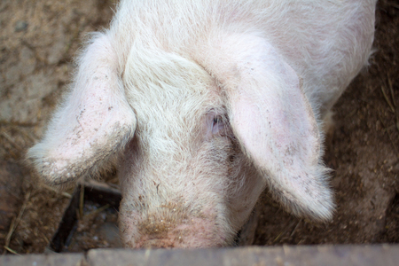 A large pigs head close-up on a pig farm Stock Photo