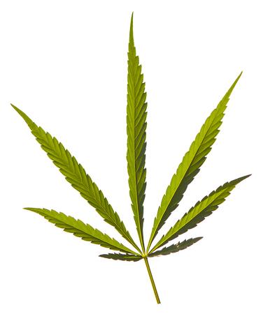 Green large sheet of medical hemp indices isolated on white background
