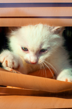 kitten small white fluffy cute climbing in the blinds on the window looking at the street bored