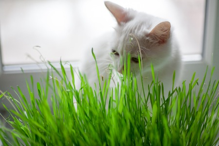 vitamin green grass for cats useful grass for cleaning the stomach cat is eating grass Reklamní fotografie