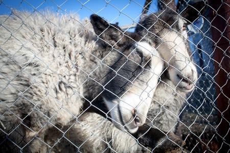 Romanov sheep breed in a pen at the home farm in Australia Stockfoto