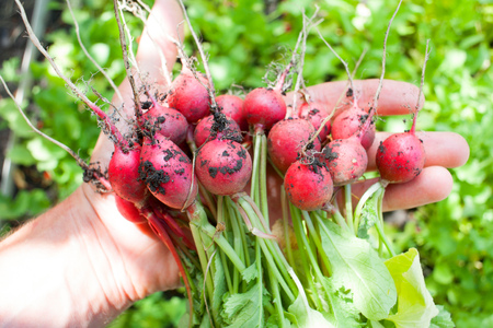 Ripe ripe radish fresh only picked from the garden in the garden in the hands of a man gardener Stock Photo