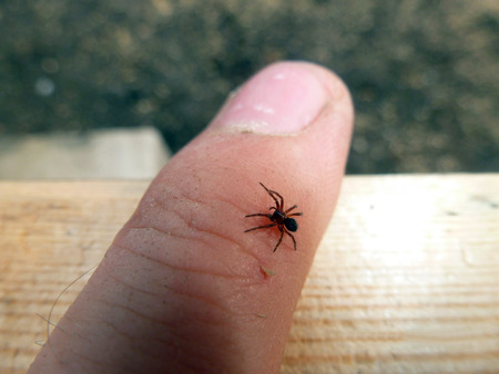 a small poisonous spider on the arm of a man bites the skin injects poison Stock Photo
