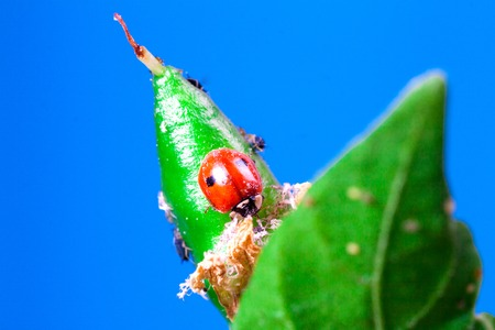 Macro of ladybug Adalia bipunctata eating aphids on stem biological plant protection insecticide natural Zdjęcie Seryjne