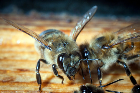 Bees working the carpathian breed close-up on a bee-frame in a beehive on honeycomb with honey of natural color