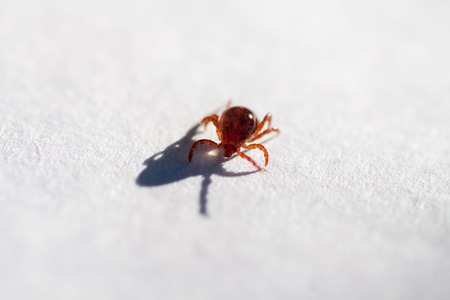 A true ixodid mite blood sucking parasite carrying the acarid disease sits on a white sheet of paper Stock Photo