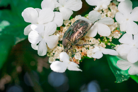 May beetle Melonlotha in spring in May on fresh leaves of a tree pollinates flowers