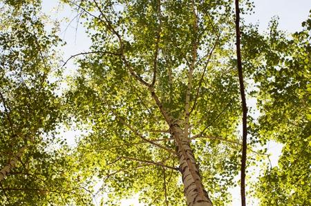 Lush green crown of a birch tree in a forest against a sky background from below upwards Zdjęcie Seryjne