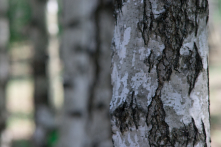 The trunk of a birch tree in the woods close up Zdjęcie Seryjne