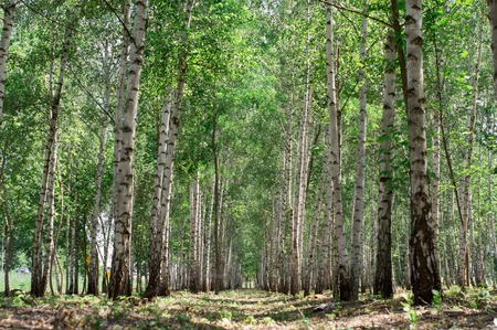 clean reserved birch wood on a hot summer evening with birches and green grass