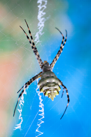 Arthropod Argiope Stock Photos And Images 123rf