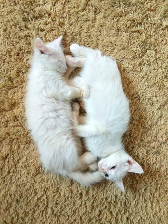 funny little white kitten playing and having fun together Stock Photo
