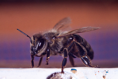 Detailed image of a honey bee of European breed close-up against the background of the hive. Farm apiary with bees producing honey. Banco de Imagens