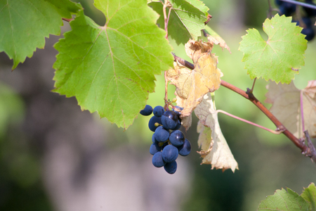 The first early ripe young grapes clusters hanging on the branches. Vineyards on a wine farm on the sunny slopes of the mountains of Italy Stock Photo