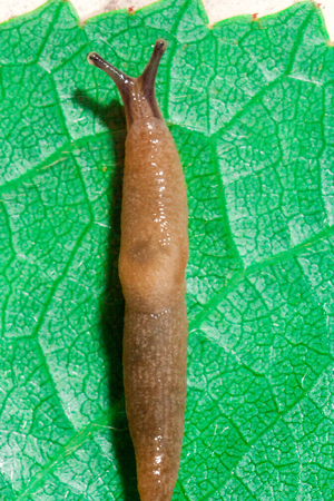 Cause of the most damage in garden Arion rufus Red Slug on a green leaf. Agricultural pest close up