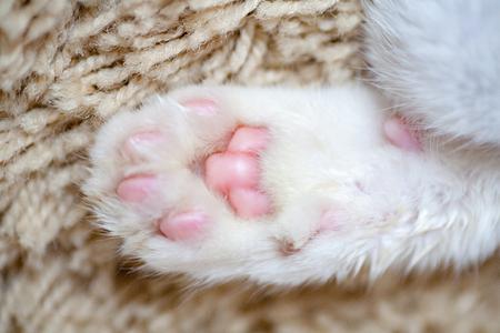Patte de chat recouverte de laine blanche avec gros plan du bout des doigts et des griffes.