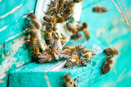 Bee honeycombs of wax in a wooden frame of a beehive full of delicious yellow May honey flower sealed with wax with a bunch of bees sitting on them. Imagens