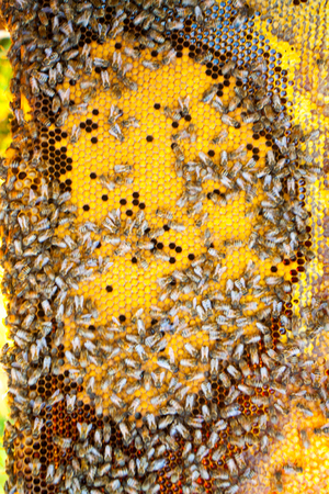 a swarm of bees in the hive with honey in the honeycomb pollen and propolis worker bees and drones