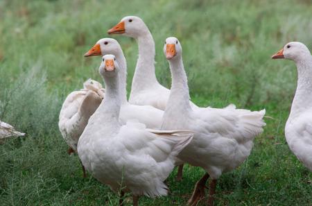 Uno stormo di oche. Le oche domestiche bianche e grigie vanno in mezzo alla folla a pascolare nell'erba. Piccolo allevamento di oche in casa. Archivio Fotografico