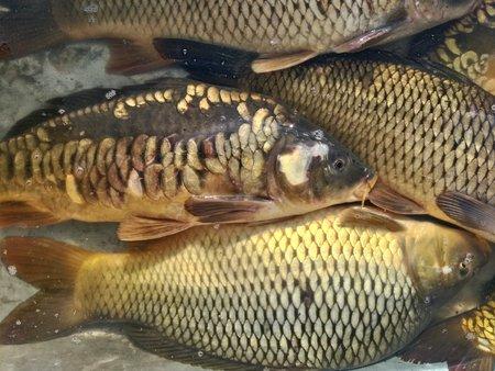 fresh river live fish at the fish shop counter
