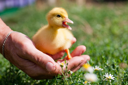 Hand holding newborn baby Muscovy duckling - vulnerability concept. A small duckling of bright yellow color on a duck farm against the background of a meadow with green grass. Standard-Bild - 120211660