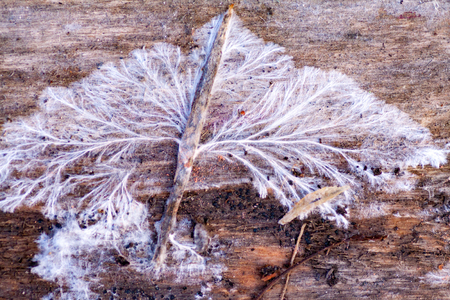 White fungus and mold on an old wooden board. Damage to boards due to mold due to high humidity. Structure of mushroom mycelium sick mold...