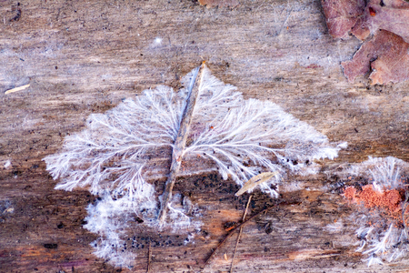 White fungus and mold on an old wooden board. Damage to boards due to mold due to high humidity. Structure of mushroom mycelium sick mold... Stock Photo