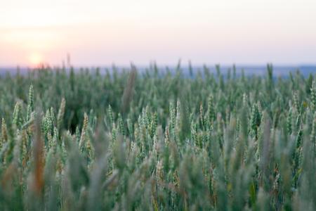 espigas verdes de centeno en un campo en el agricultor. Agricultura. El cuerno madura en el enfoque selectivo del oído con un fondo borroso.