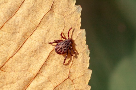 A true ixodid mite blood sucking parasite carrying the acarid disease sits on a On a green leaf of grass in the field on a hot summer day, hunting in anticipation of the victim