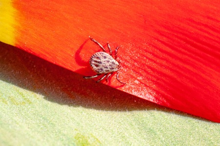 Deer tick on a detail of red flower. Ixodes ricinus. Close-up of the dangerous parasite on red petals. Natural red leaf in the background. Encephalitis, Lyme disease and babesiosis carrier.