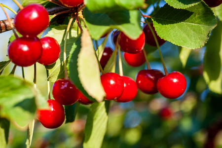 Ripe cherry fruit brightly red color on the branches of Ashinskaya Prunus subg. Cerasus. Barbados cherry. Acerola Orchard.