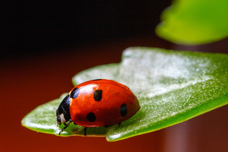 Ladybug sitting on a flower leaf warm spring day Stok Fotoğraf
