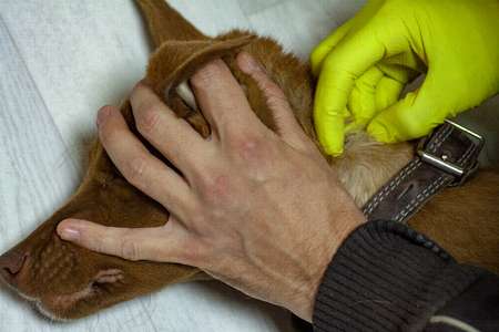 The vet doctor removes the Ixodes tick from a dog that has been bitten into the neck. Tick sucked to the skin of the dog. Mite drinks blood dog.
