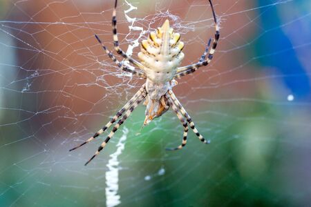 A terrible poisonous spider Argiope lobata a female and a male sitting next to the threads of their web before mating Stok Fotoğraf