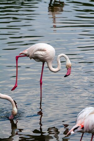 pink flamingo: Out of the six species of flamingo on our planet, the Greater Flamingo is the most common and widespread member of the flamingo family.