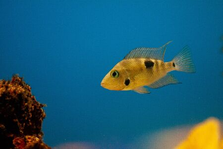 Exotic tropical fish from the warm ocean beautiful different bright colors purple Yellowfin surgeonfish Acanthurus xanthopterus closeup
