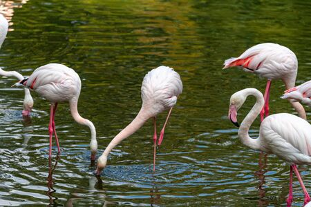 pink flamingo: Out of the six species of flamingo on our planet, the Greater Flamingo is the most common and widespread member of the flamingo family. Imagens - 129994987