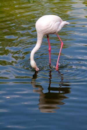 pink flamingo: Out of the six species of flamingo on our planet, the Greater Flamingo is the most common and widespread member of the flamingo family. Imagens - 129995044