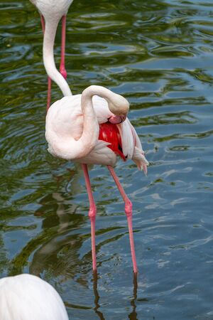 pink flamingo: Out of the six species of flamingo on our planet, the Greater Flamingo is the most common and widespread member of the flamingo family. Imagens - 129995056