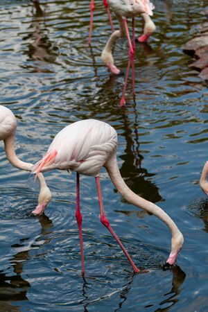 pink flamingo: Out of the six species of flamingo on our planet, the Greater Flamingo is the most common and widespread member of the flamingo family. Imagens - 129995055