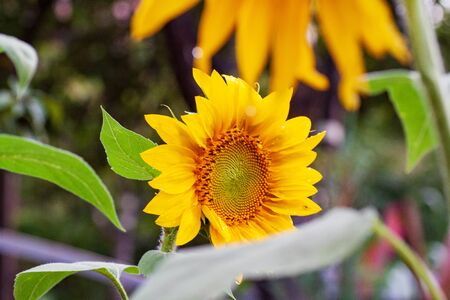 Blooming sunflower in a field with bright yellow petals against other sunflowers and a blue sky. In the field of sunflowers ripen the harvest of seeds. Imagens - 129995057