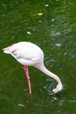 pink flamingo: Out of the six species of flamingo on our planet, the Greater Flamingo is the most common and widespread member of the flamingo family. Imagens - 129995062