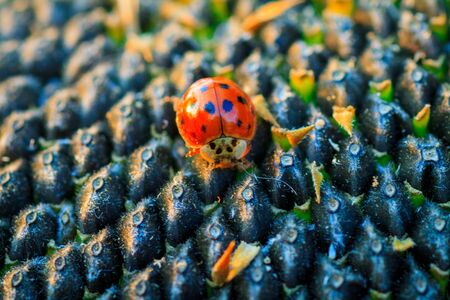 Bright red dotted ladybug on ripe black sunflower seeds in a farmers field in summer. Ladybug - bug. Natural insecticide that destroys pests of crops. A closeup of a ladybug. Imagens - 129995572